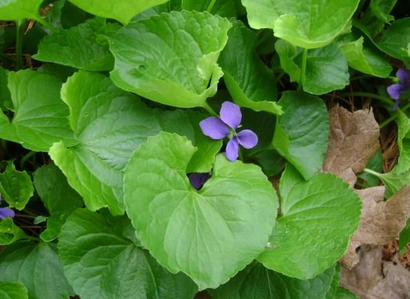 violette selvatiche