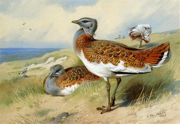 Thorburn_Archibald_Great_Bustards